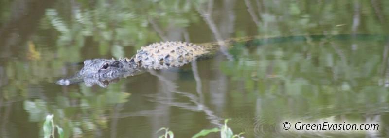 Un crocodile américain se prélasse à la surface de l'eau dans les Everglades